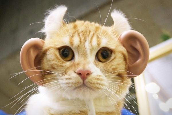「人の耳」を猫につけたら「猫耳」よりかわいくなるか、実際に試してみた件