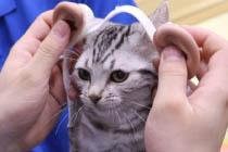 【検証】猫耳とは逆に『人の耳』を猫に付けたら可愛くなるのか!…